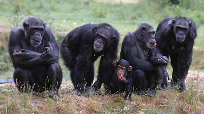 NIH Mengakhiri Semua Penelitian Tentang Simpanse
